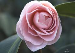 Pink Beauty (sheiro) Tags: canada macro rose edmonton alberta sensational muttartconservatory pinkrose sheiro