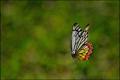 The Flying Jezebel (Ajith ()) Tags: jezebel commonjezebel butterfly fly flight sky moment wings wing eyes morning light beauty nature macro gold golden polengrain flower goldenflower white petals closeup orange yellow action bokeh greenbokeh actionshot deliaseucharis delias eucharis pierid timing explorewinnersoftheworld bravo explorefrontpage explorefp ajith ajithu uajith ajithuphotography colouredclickscom colouredclicks coloredcicks coloredclicks ajithuwordpresscom ajithkumaru d40x nikond40x