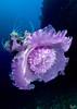 Enormous beauty (Lea's UW Photography) Tags: jellyfish underwater fisheye maldives fins malediven qualle tokina1017mm unterwasserfoto leamoser