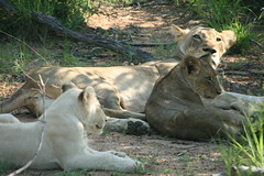 White lion cub and normal golden cousin (lourobbo) Tags: southafrica lion whitelion timbavati tandatula