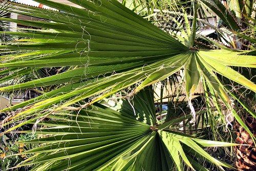 Washingtonia filifera (rq) - 01