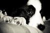 Black & White (fotoham) Tags: blackandwhite dog bordercollie pup indi abigfave sigma70300mmf4056dgmacro nikond3000 sigmaflashef500dgsuper