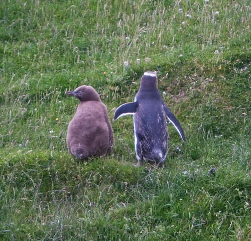 Yellow Eye Penguin And Chick, Dunedin, New Zealand