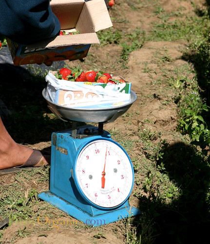 weighing the harvest