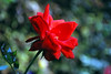 Deep red rose (Adesh Singh) Tags: flowers flower rose closeup garden village redrose mobileresearch dharwad dharwar templesofindia hoobli