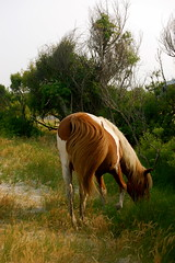 the neighbor (hiscozzese) Tags: park camping horse wildhorses assateague wildpony