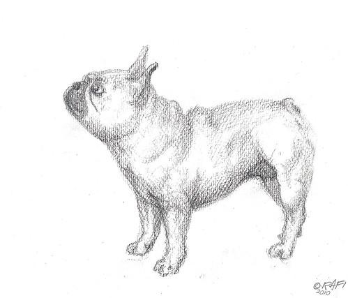French Bulldog 02