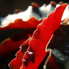 Edges of brightly lit, brilliant red, white spotted Angel Wing Begonia leaves (jungle mama) Tags: red flower miami edge begonia tropical lit 1001nights soe redleaf angelwingbegonia angelwing coth supershot kartpostal begonialeaf mywinners abigfave anawesomeshot flickrdiamond edgeofleaf rubyphotographer 100commentgroup  dragondaggerphoto superstarthebest newgoldenseal biscayneparkflorida redangelwing rededgeofangelwing redbegonialeaf