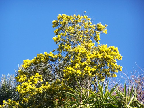 yellow gorse against a bright blue sky
