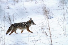 """Coyote """"pup"""" (starc283) Tags: coyote nature canon wildlife prarire natuesfinest canon7d"""
