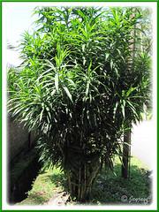 Dracaena deremensis, an unidentified garden variety in the neighbourhood