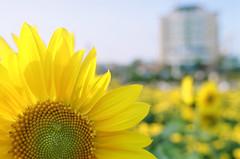 Sunflower (Jason Dinh Ba Thanh) Tags: photography nikon vietnam da sunflower f3 tet nikonf3 nang danang 2010 tt chcmngnmmi
