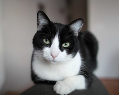 Oliver on Back of Sofa (Mr.TinDC) Tags: cats pets animals oliver tuxedocats kitties felines moggy blackandwhitecats blackwhitecats
