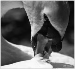 Asturias 2009 (J.M. Taboada) Tags: naturaleza animal real asturias oviedo pavo asturies uvieu