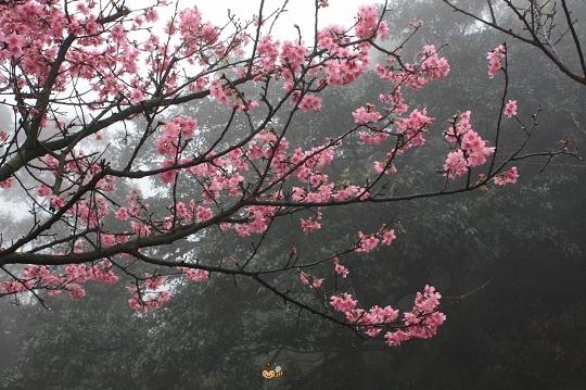 2010.0227天元宮探吉野櫻花況  (31).jpg