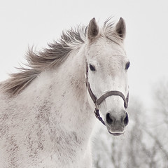 white on white (Will Montague) Tags: winter portrait horse white snow ice nikon mare bluegrass lexington kentucky gray highkey thoroughbred equine montague fayettecounty horsefarm d90 horseportrait centralkentucky willmontague