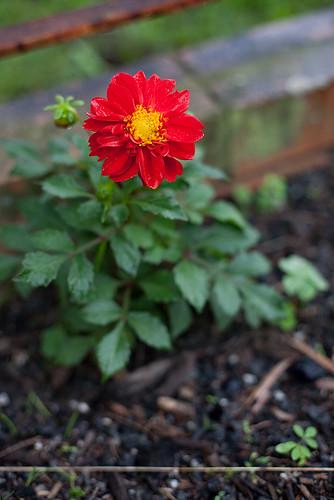 A single flower, 235/365