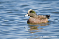 American Wigeon Drake (Ralf Nowak) Tags: ontario canada bird nature birds animal fauna burlington duck nikon wildlife hamilton ducks sigma american americana lasalle waterfowl anas widgeon americanwigeon hfg wigeon d300 hamiltonharbour anasamericana kaczka baldpate americanwidgeon sigmalens kaczki hamiltonbay wistun wistunamerykaski lasallepark amerykaski nikond300