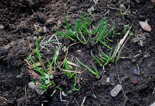 overwintered chives