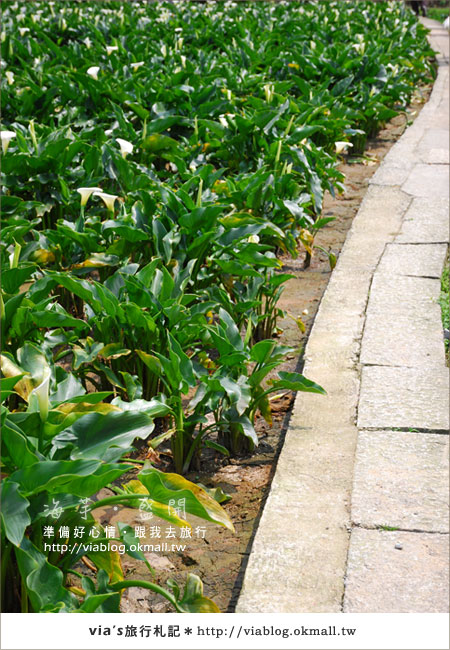 【2010竹子湖海芋季】陽明山竹子湖海芋季~海芋盛開囉!28
