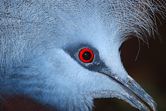 Scheepmakers Crowned Pigeon #1 (dachalan) Tags: blue red bird eye pigeon wildlife beak feathers explore papuanewguinea oxfordshire newguinea burford plumage cotswoldwildlifepark bigmomma crownedpigeon interestingness295 i500 westoxfordshire dachalan gourascheepmakeri nikond40x thechallengefactory scheepmakerscrownedpigeon scheepmakerskroonduif