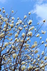 Magnolia heptapeta (Jim Mayes) Tags: zoom contax 400 nx centuria carlzeissvariosonnar35452485tn