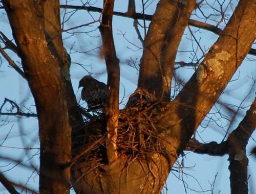 hawk nesting in our yard
