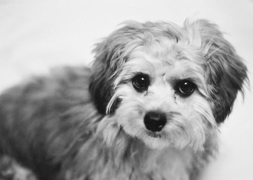 Puppy portrait 1 crop