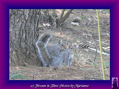 FBI: P2870456+2 CAN WE HAVE SOME PRIVACY-- PLEASE!!!!!!!!!!!!  AND PLEASE STOP TAKEN PHOTOS!!!!!!!!!!!!!!!!!!!! (Frozen in Time photos by Marianne AWAY OFF/ON) Tags: friends nature animals squirrel squirrels wildlife mating critters fbi groundsforsculpture animalsex naturesfinest sciuruscarolinensis myflickrfavs youlookinatme framedphotos photocreations nationalgeographicwannabes easterngreysquirrels animalsmating favoritesbyinterestingness heartawards theunforgettablepictures squirrelsmating ilovesquirrels ilovemypics natureunlimitedpublicgroupforever photowatermarkframes wirliebentiereweloveanimals fotografaynaturalezaphotographyandnature 3212010 groundsforsculpture3212010 squirrelsandotheranimals amimalsmating dramasquirrels
