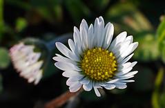 Margherita (Shadow13777) Tags: italy flower macro nature colors digital canon eos spring italia bokeh fiore margherita kenko canon50mmf14 40d santorso scattifotografici allegrisinasceosidiventa