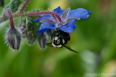 Borage N Bumble Bee (Cory Dalva) Tags: flowers rain bee bumble waterdrops borage