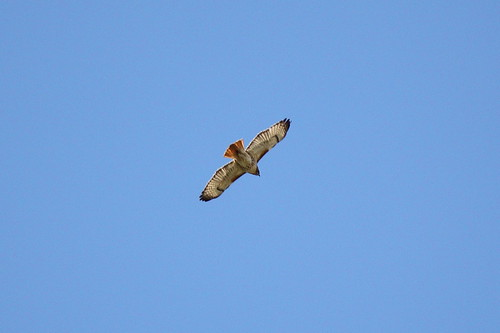 Red-Tailed Hawk Over DC