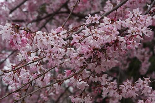 しだれざくら Weeping cherry tree