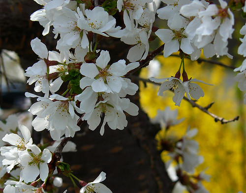 weeping cherry and forsythia