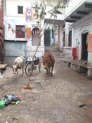 IMG_3709 (Sara the Intrepid) Tags: cow boat cows funeral varanasi hyderabad ganga ganges sadu varanassi uttarpradesh burningghats funeralpyre gangariver gangesriver sleeperclass