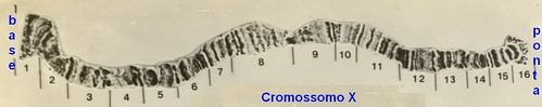 Cromossomo politênico X da D.nappae