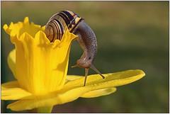 Snail, Schnecke (sch.o.n) Tags: macro nature spring nikon wildlife snail blumen garten schnecke