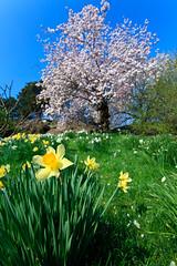 Chrysanthemum (enfi) Tags: park new york city nyc usa ny primavera garden cherry botanical estate blossom belmont pierre bronx landmark historic national chrysanthemum haupt cerezos lorillard conservatoryspring