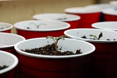 Tomato Seedlings 041510