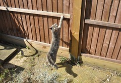 Nimbus doesn't like Puss (cox-on-the-box - we have rain!) Tags: fence kitten tail brush bengalcross catnipaddicts ornerycats