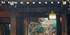 drizzle in Meiji Jingū 明治神宮 (wongyokeseong) Tags: rain japan point tokyo drops shrine flickr shoot sony fine shibuya pointandshoot lantern shinto shintoshrine pointshoot meiji drizzly drizzle meijishrine 明治神宮 渋谷区 t200 lightrain jingū drizzling meijijingū emperormeiji finedrops sonydsct200 sonyt200