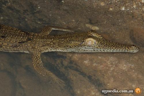 Freshwater crocodile (Crocodylus johnstoni)