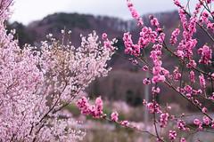 Cherry Blossom at Fukushima, Japan (natssant) Tags: pink mountain flower tree nature japan cherry japanese spring natural blossom plum petal  sakura fukushima hanami blooming     hanamiyama thoku