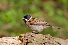 IMG_0907 Reed Bunting, Whitacre Heath, Warwickshire 21Apr10 (Lathers) Tags: birds canon 7d warwickshire bunting reedbunting canonef300f4lisusm canon7d warwickshirewildlifetrust whitacreheath wildinthemidlands 21apr10