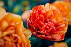 gorgeous tulips (ion-bogdan dumitrescu) Tags: romania bucharest bitzi ibdp mg0760 ibdpro wwwibdpro ionbogdandumitrescuphotography