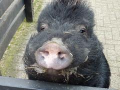 Miss Piggy (Cathpetsch) Tags: macro animal closeup lumix pig swine kinderboerderij zwijn childrensfarm lifecloseups panasonicdmctz6