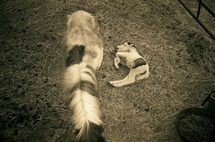 blazin' m whoopsie daisy (EllenJo) Tags: arizona horse 35mm az cottonwood miniaturehorse 2010 babyhorse foal verdevalley blazinmranch olympus35mm ellenjo ellenjoroberts april2010 springtimeinarizona