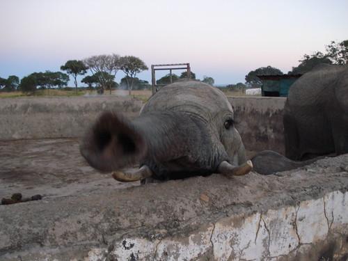 Curious Mama Elephant