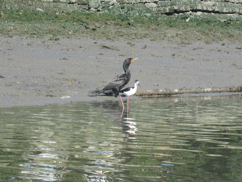 cormorant and black necked stilt