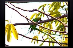 Birds_Animal (38) (My Pixel Magic) Tags: bird birds canon fly parrot canondslr indianparrot beautifulbird canonlens willife summerbird indianbird flyingbeauty birdofindia canon55250mmlens greenflyer canondsrl500d parrotofindia